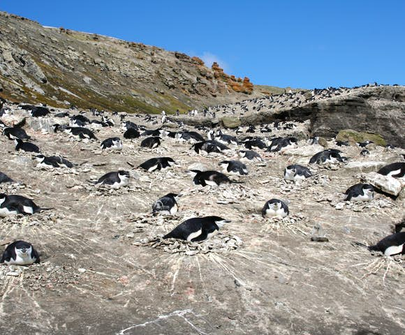 A colony of nesting chinstrap penguins at Baily Head, South Shetland Islands, Antarctica