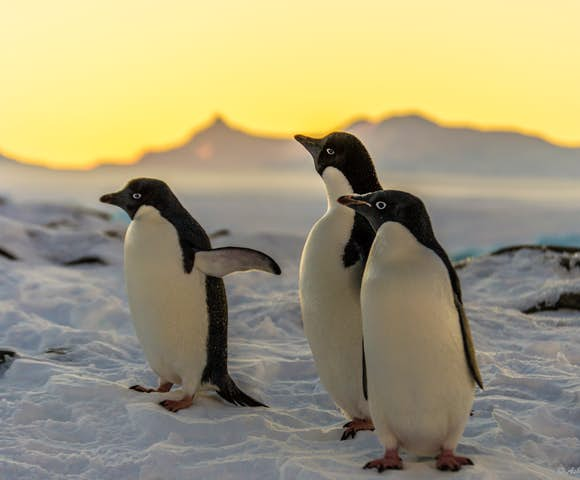 Sunset and Adelie penguins, Antarctica