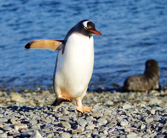 Spot penguins and seal pups on Antarctica Cruises