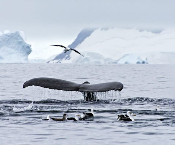 Whale sightings are a big part of Antarctica cruises