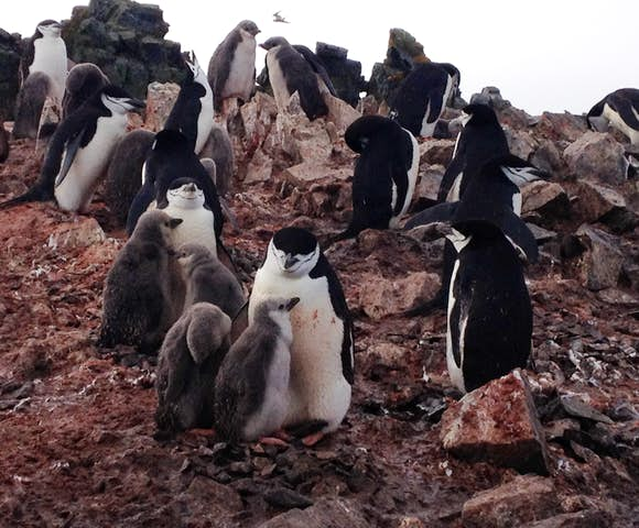 Chinstrap penguins with chicks, Antarctica
