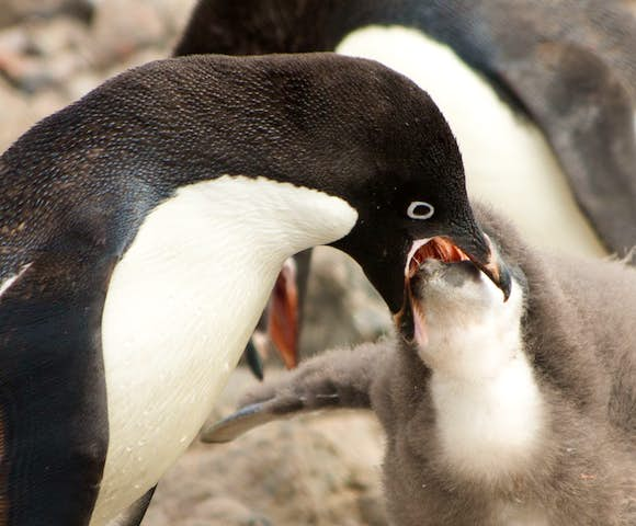 Adelie penguin feeding its chick in Antarctica in February