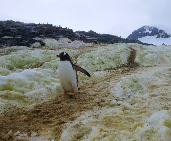 Gentoo penguin & rookery, Pleneau Island, Antarctica