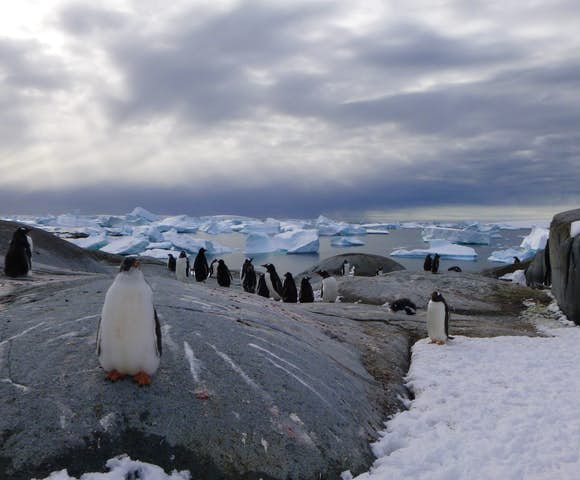 Gentoo penguins on Pleneau Island in Antarctica