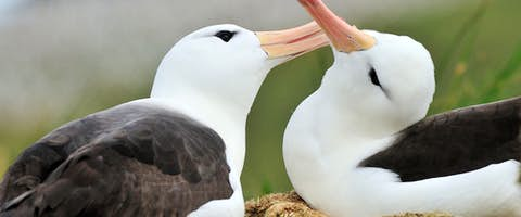 OCE_4_STEEPLE_RTD_BLACK-BROWED-ALBATROSS