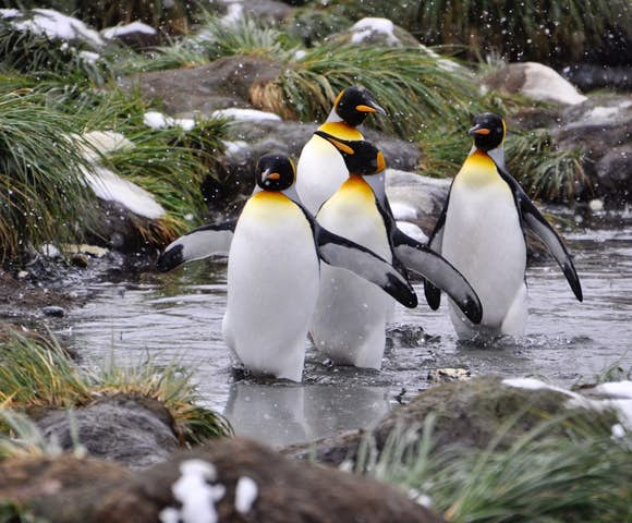King penguins marching together, South Georgia, Antarctica