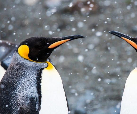 Snowy king penguins