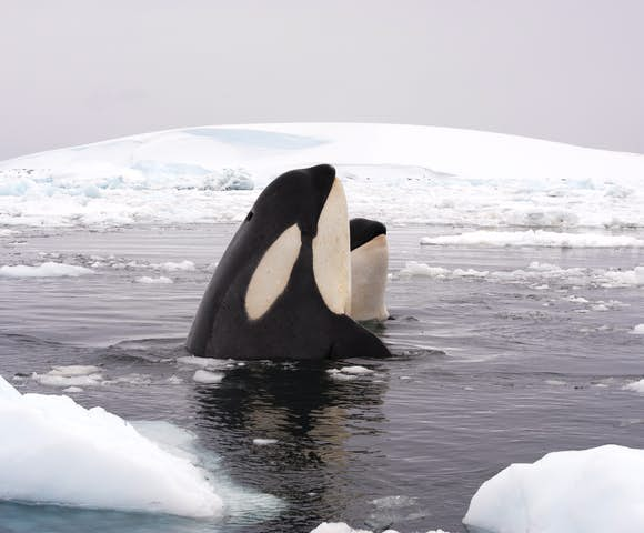 Orca whale spotting in Antarctica in February