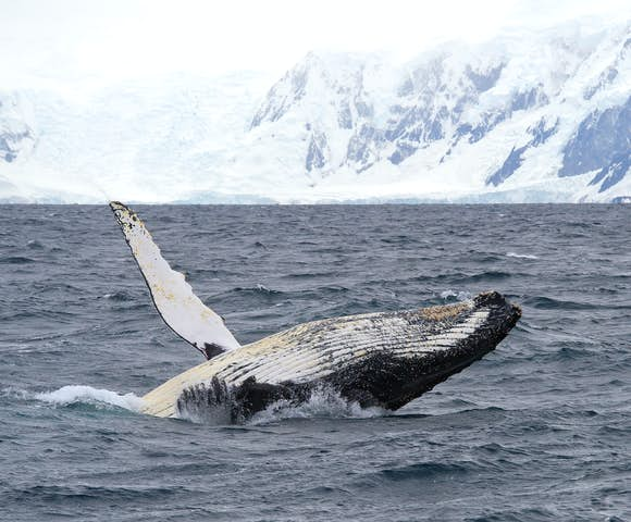 Humpback whale breaching, Wilhelmina Bay, Antarctica
