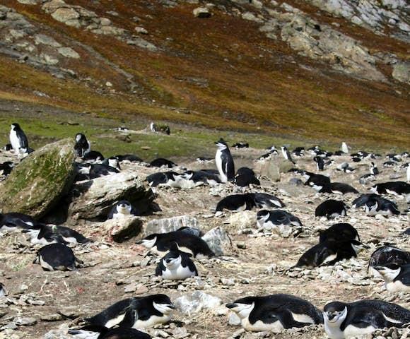 Nesting chinstrap penguins, Baily Head, South Shetlands