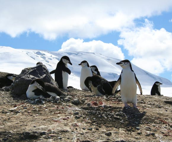 Chinstrap penguin chicks at their nest, Antarctica